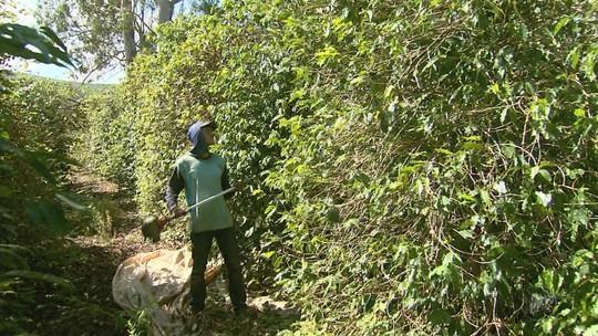 Produtores apostam na apanha manual nas lavouras de café no Sul de Minas