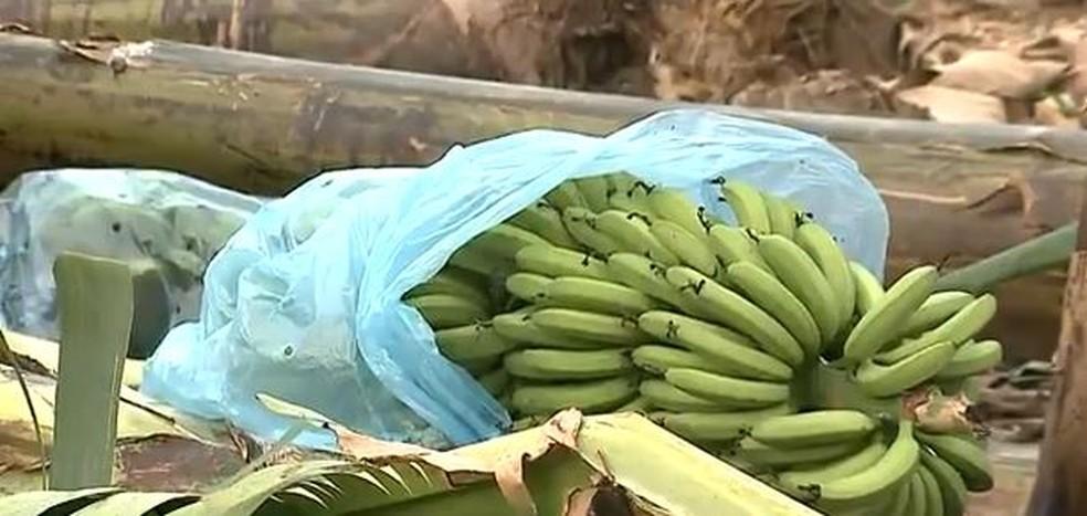 Principal exportadora de bananas no estado, Corupá estima prejuízo de até 90% na produção — Foto: NSC TV/Reprodução