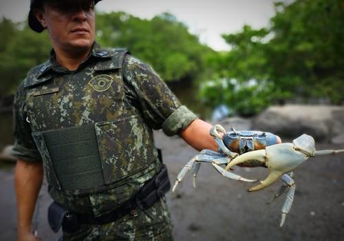 Caranguejos são devolvidos à natureza após apreensão da Polícia Militar Ambiental (Foto: Polícia Militar Ambiental )
