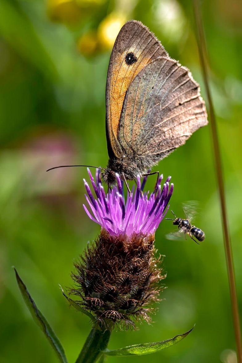 Meadow Brown & Solitary Bee, de William Mills (Foto: Creative Commons)