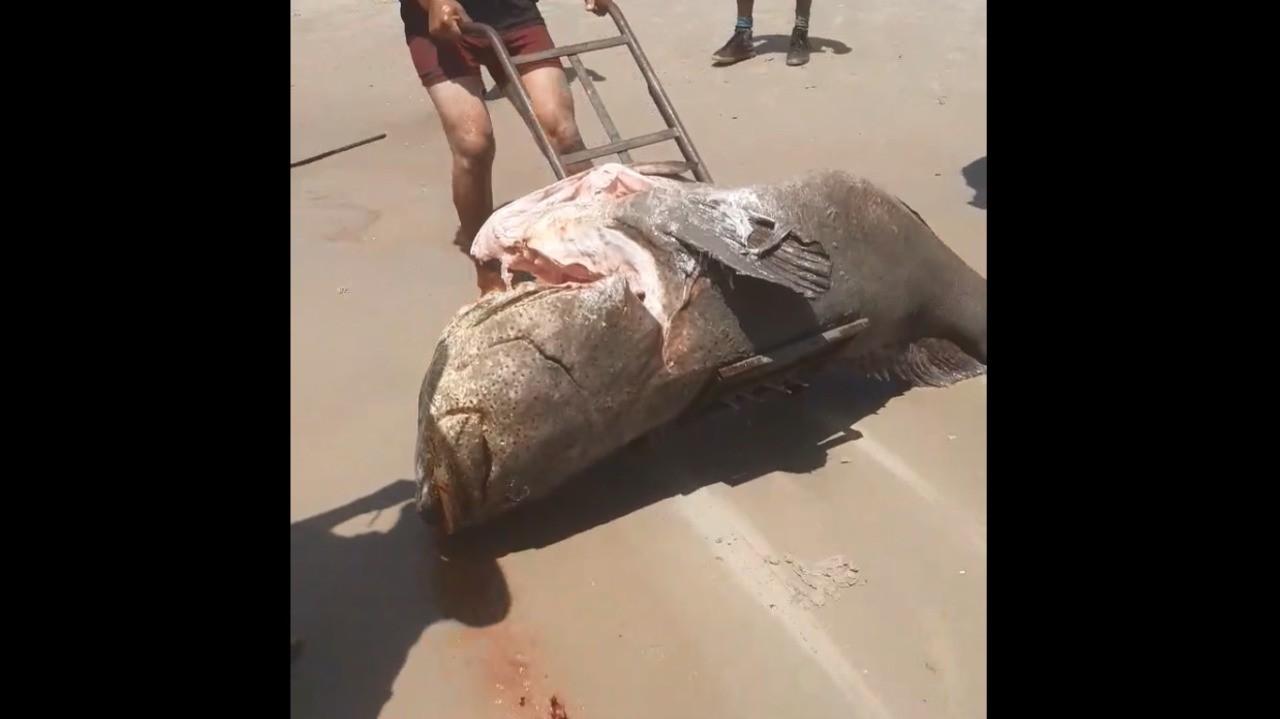 Peixe ameaçado de extinção é capturado e morto por populares em praia de São Luís; VÍDEO