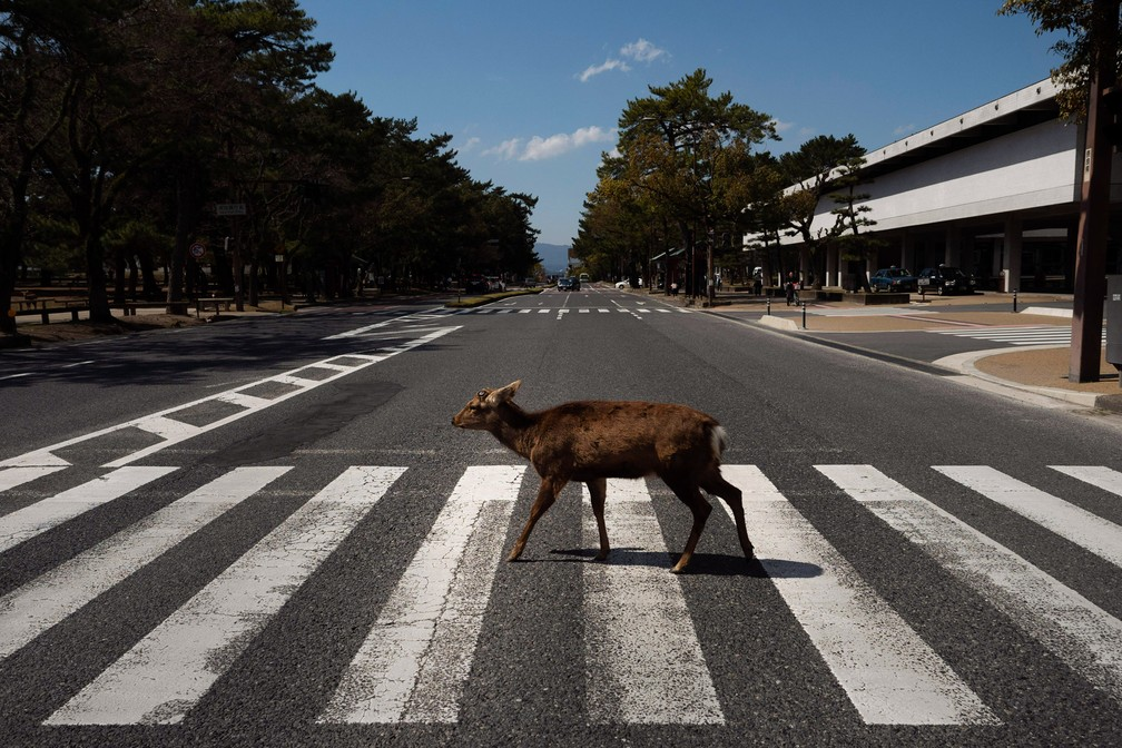 NARA (Japão) - Um cervo atravessa a rua em uma faixa de pedestres em Nara, no Japão — Foto: Jae C. Hong/AP