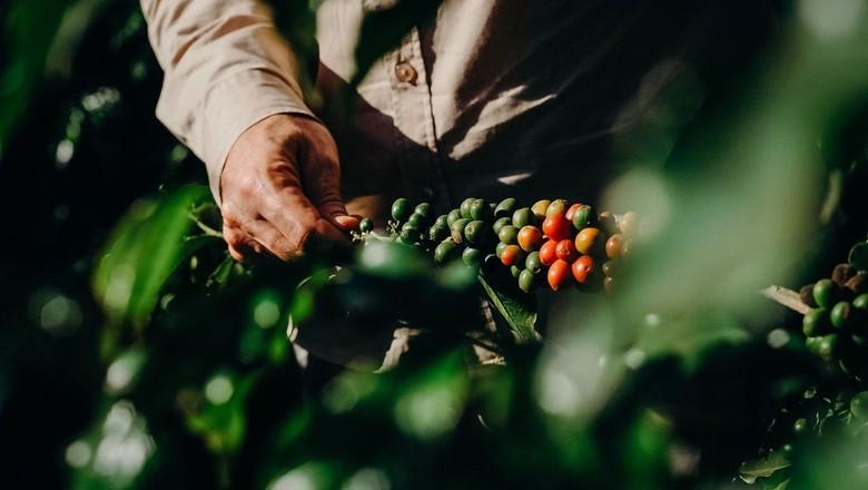 A chuva intensa e atípica no inverno do ano passado fez o cafezal dar dez floradas, enquanto que o normal são duas (Foto: Selva Bizarria)
