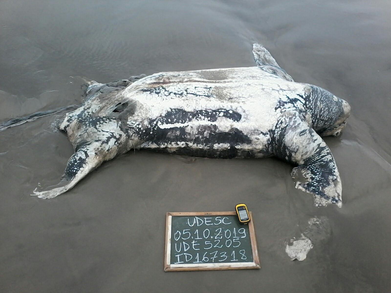 Mortes de tartarugas-gigantes preocupam pesquisadores do Sul de Santa Catarina - Notícias - Plantão Diário