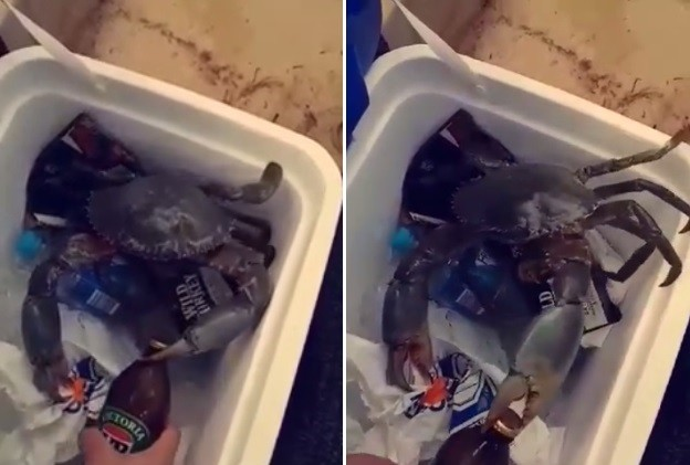 Caranguejo é usado para retirar tampinha de garrafa de cerveja