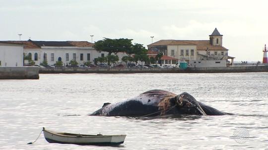 Baleia que encalhou em Salvador tem 14 m e 40 toneladas; trabalho de remoção de carcaça pode durar até 3 dias