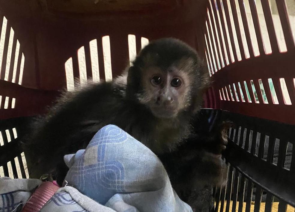 Macacos pregos em extinção eram vendidos em SP — Foto: Polícia Civil/divulgação