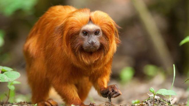 No Brasil, o mico-leão-dourado é um dos principais motivos de preocupação (Foto: GETTY IMAGES/via BBC News Brasil)