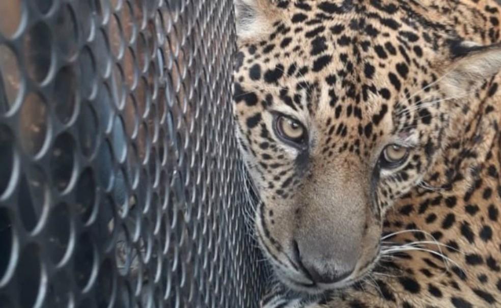 Onça Jatobazinho foi resgatada quando seria reintroduzida na natureza — Foto: Projeto Onçafari/Divulgação