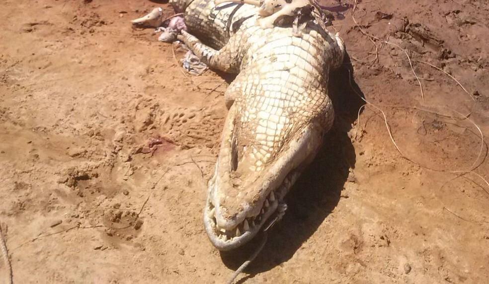 Jacaré foi morto por populares; dentro do animal foram encontrado restos mortais (Foto: Divulgação)