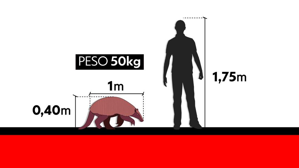 Comparativo entre tamanho do tatu canastra e de um homem com 1,75 m de altura (Foto: Arte/TV Globo)