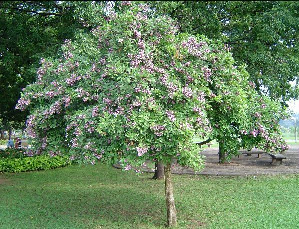 Angelim-de-Morcego (Foto: Árvores Brasil/ Divulgação)