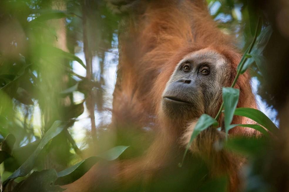 Imagem mostra Pongo tapanuliensis, nova espécie de orangotango encontrada na Indonésia (Foto: Courtesy Andrew Walmsley/Handout via REUTERS)