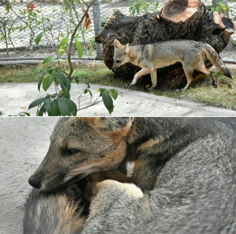 Casal de raposas chega ao zoológico de Fortaleza (Foto: Divulgação)