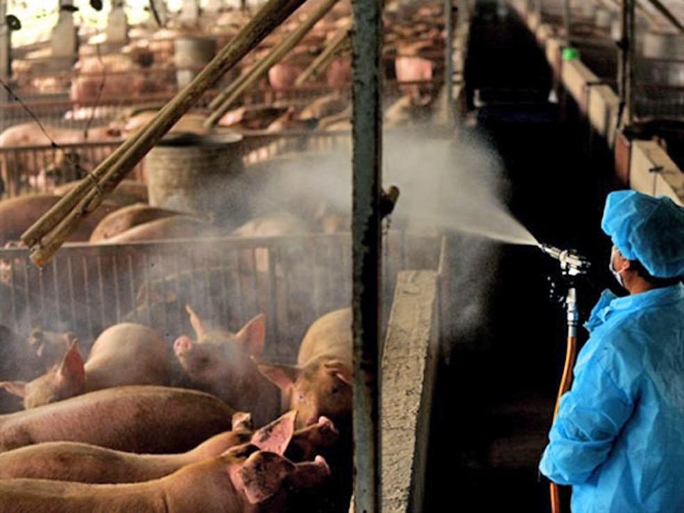 Criação de porcos na China — Foto: Sam Yeh/ AFP