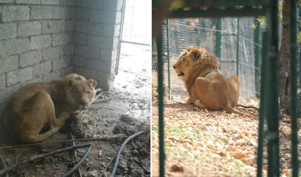 Antes e depois do Simba, leão resgatado pela ONG 'Four Paws' em Mossul (Foto: Reprodução/Mossul Eye/Twitter)