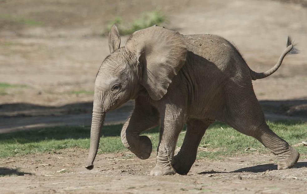 Filhote de elefante africano — Foto: San Diego Zoo / Tammy Spratt/AFP