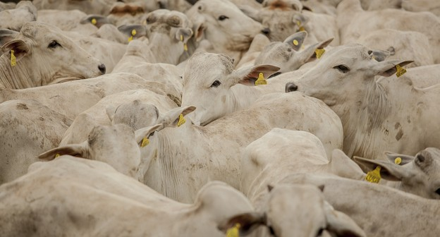 Preço do boi cai quase 10% em outubro, mas carne tem queda menor no atacado, diz Cepea