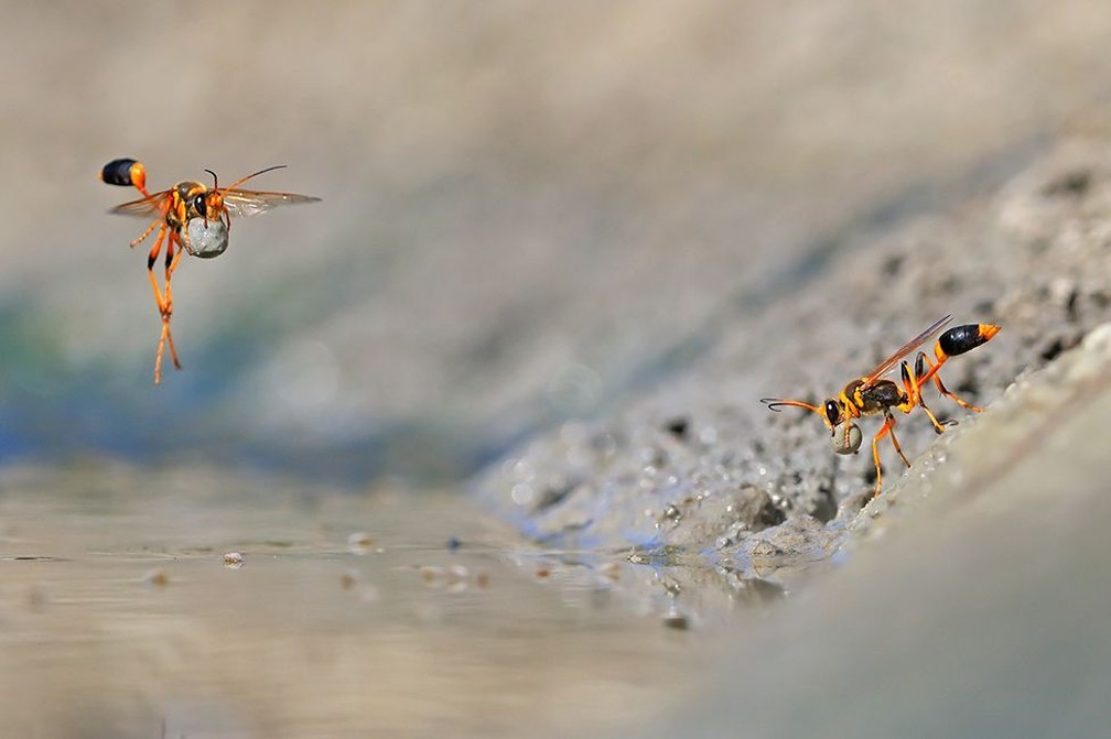 'Mud-rolling mud-dauber', de Georgina Steytler, vencedora na categoria 'Comportamento: Invertebrados' — Foto: Georgina Steytler