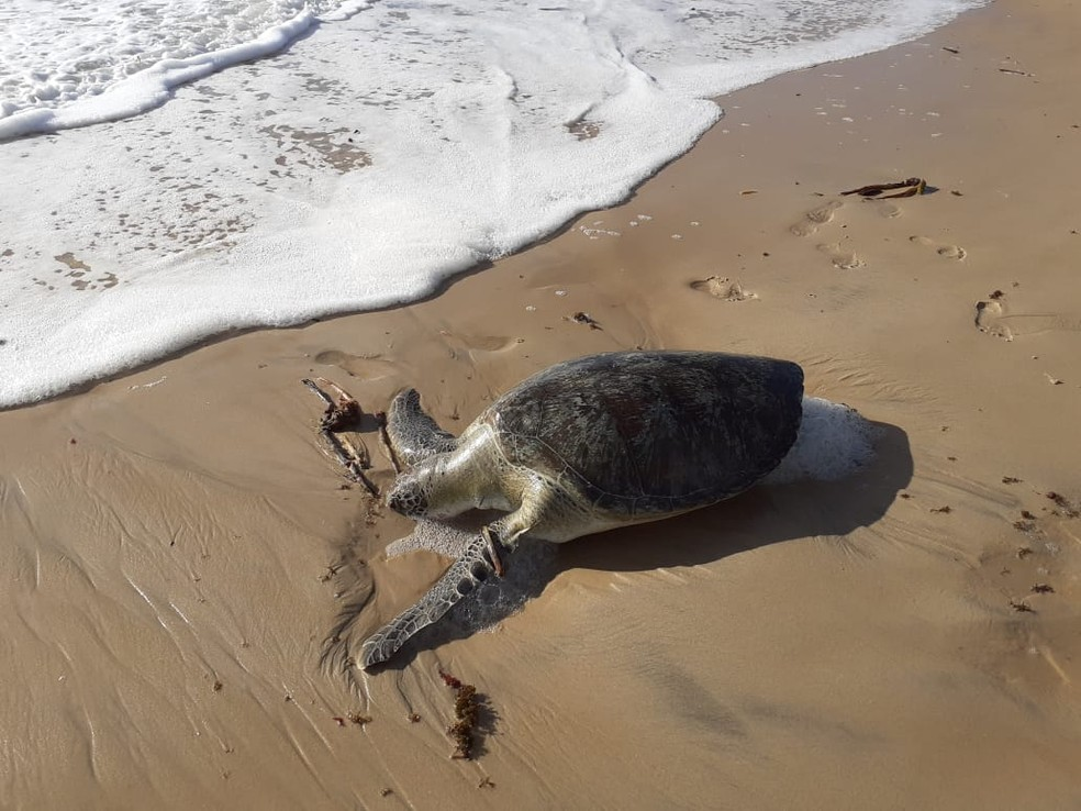 Green sea turtles are found dead in Cabo de Santo Agostinho, Greater Recife - Photo: Felipe Brayner / Press