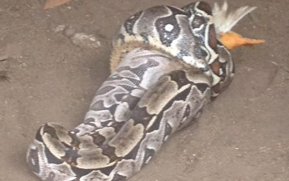 Cobra encontrada comendo pato na Zona Sul do Recife foi resgatada pelo Cipoma (Foto: ReproduA�A?o/WhatsApp)