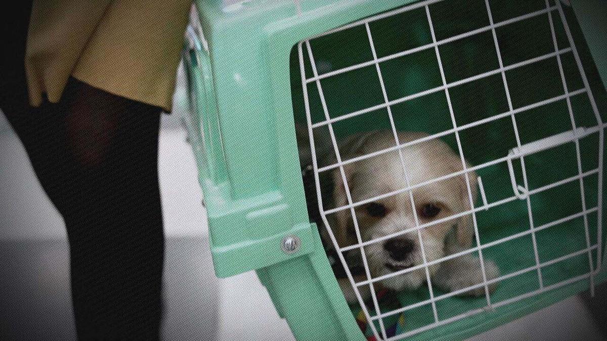 Viagem com pets: Fantástico mostra como é essa experiência na visão dos próprios bichinhos