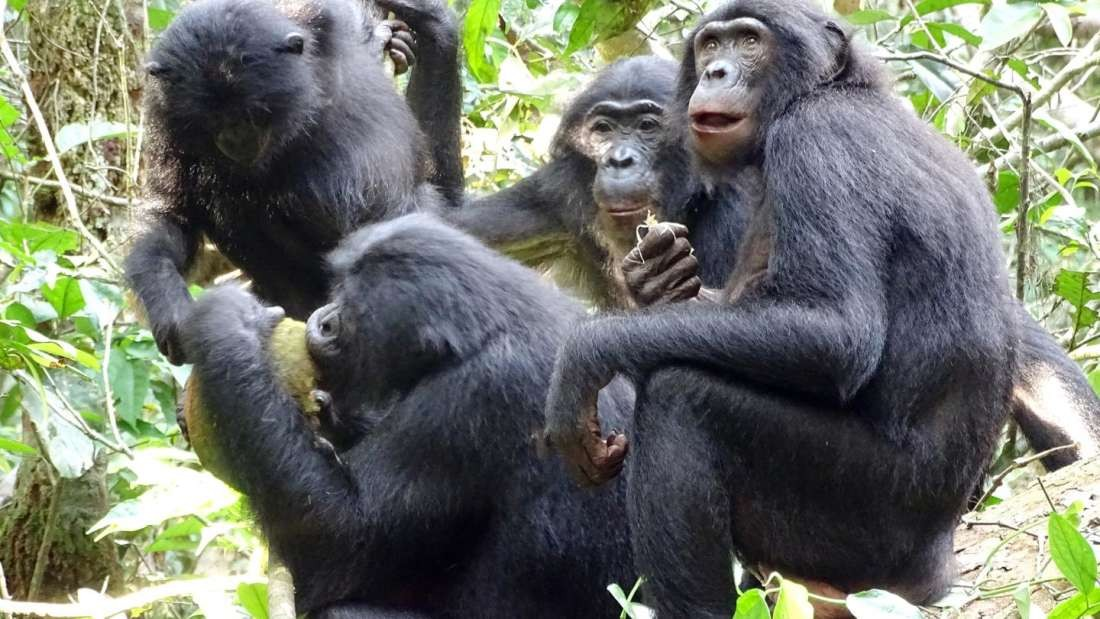 Paz e amor: foto flagra bonobos compartilhando refeição