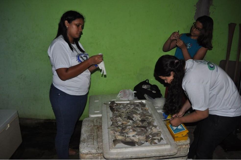 Pesquisadores realizam análise das barbatanas de tubarões encontrados em portos e mercados no litoral norte do Brasil (Foto: Arquivo/Jorge Nunes)