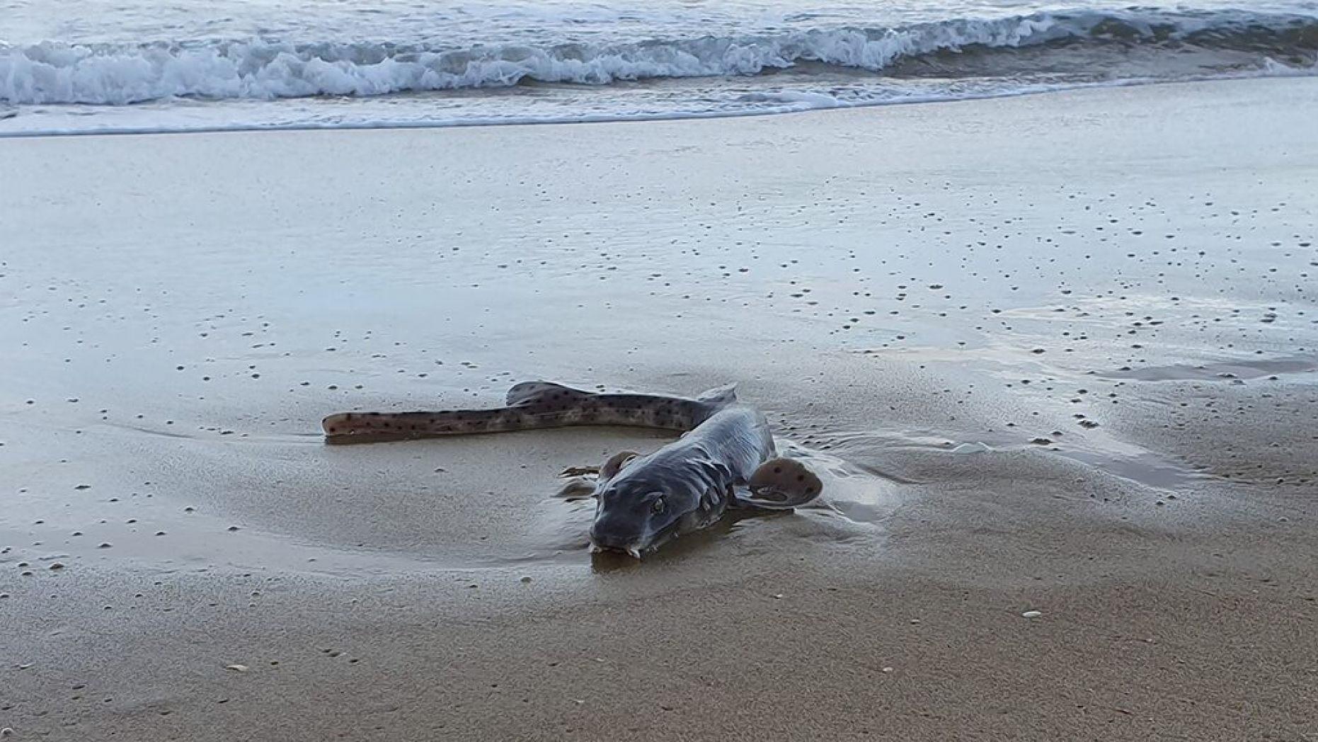 O animal é uma espécie de tubarão da família Scyliorhinidae (Foto: Divulgação/ Cosy Seaside Escape)