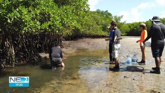 Pesquisadores coletam camarões em rios afetados por óleo para avaliar danos a espécies de mangue