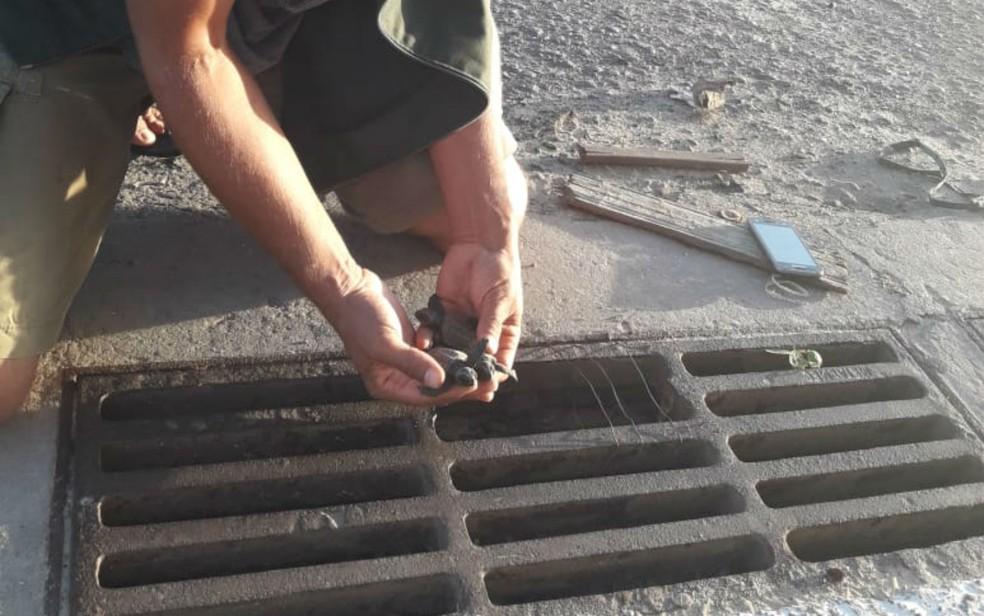 Biólogos resgatam mais de 50 filhotes de tartaruga-cabeçuda de ninho em bueiro, no sul da Bahia — Foto:  Secretária Municipal de Meio Ambiente de Mucuri