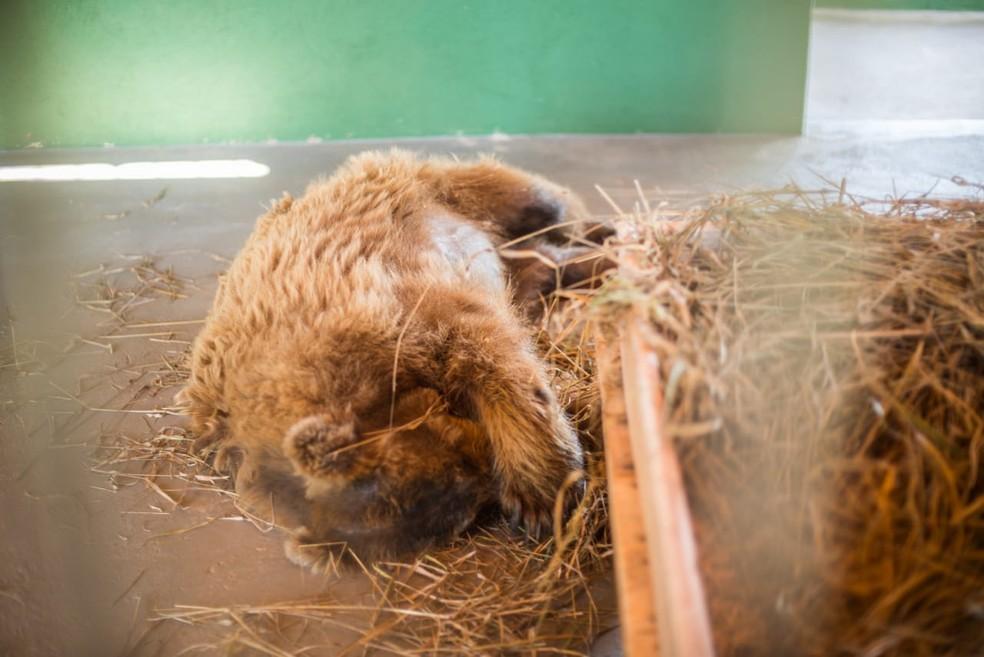 Ursa dorme em cama de feno em santuário de animais em Joanópolis — Foto: Biga Pessoa/ Rancho dos Gnomos