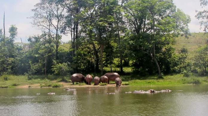 Hipopótamos, o curioso legado de Pablo Escobar para a Colômbia | Natureza |  G1