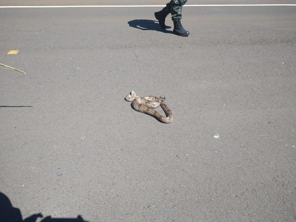 Jiboia atravessava rodovia em Arealva quando foi salva por policiais ambientais — Foto: Polícia Ambiental/Divulgação
