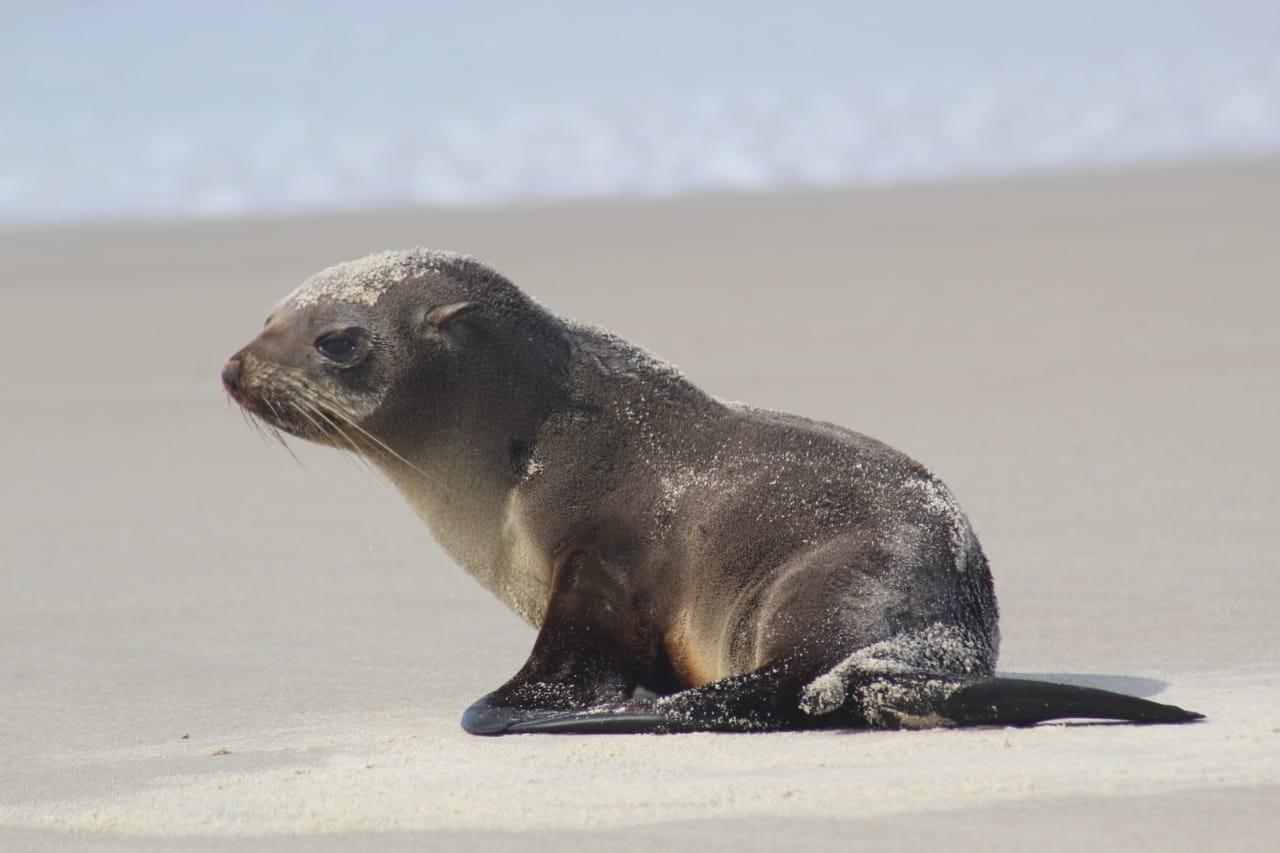 Lobo-marinho é flagrado na beira da praia em Matinhos; VÍDEO  - Notícias - Plantão Diário