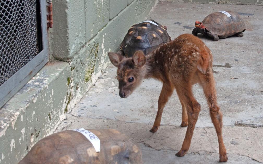 Veado catingueiro de no máximo 15 dias se recupera no CRAS  (Centro de Recuperação de Animais Silvestres) do Parque Ecológico Tietê, na Zona Leste de São Paulo — Foto: Deslange Paiva/G1