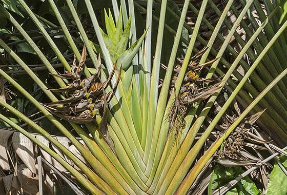 Ravenala em flor no Jardim Botânico Pamplemousses na ilha Maurício  (Foto:  © Haroldo Castro/ÉPOCA)