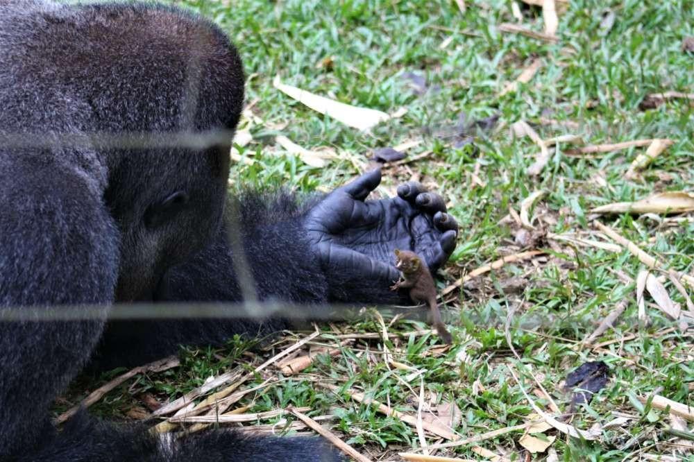 Registro da inesperada amizade entre gorila e galago (Foto: Reprodução/Facebook)
