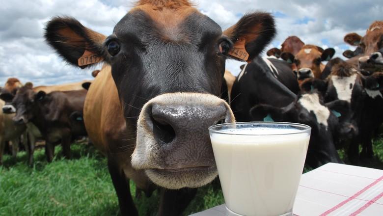pecuaria-leiteira-leite-vaca (Foto: Ernesto de Souza/Ed. Globo)