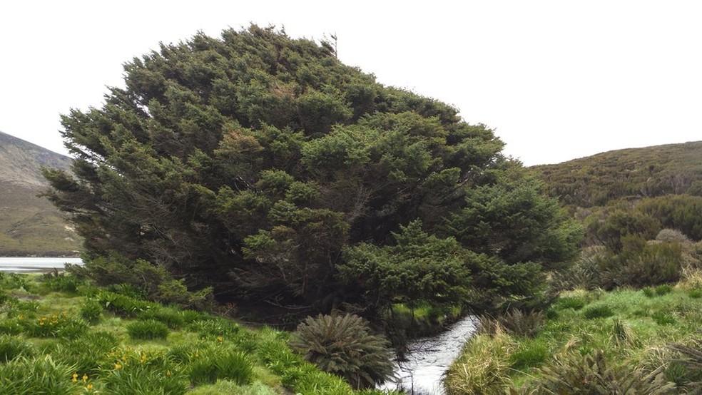A árvore da espécie Picea sitchensi, localizada numa ilha na Nova Zelândia, foi plantada em 1905 e cresce em média 1 cm por ano  (Foto: Pavla Fenwick)