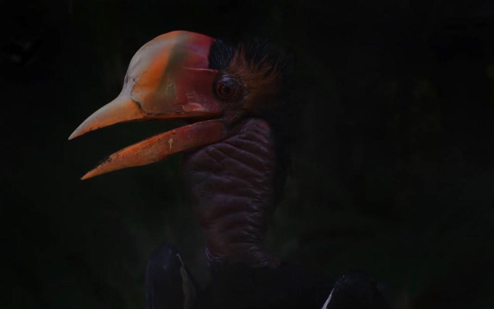 Espécie calau-de-capuz só é encontrada em florestas asiáticas — Foto: Reprodução/BBC