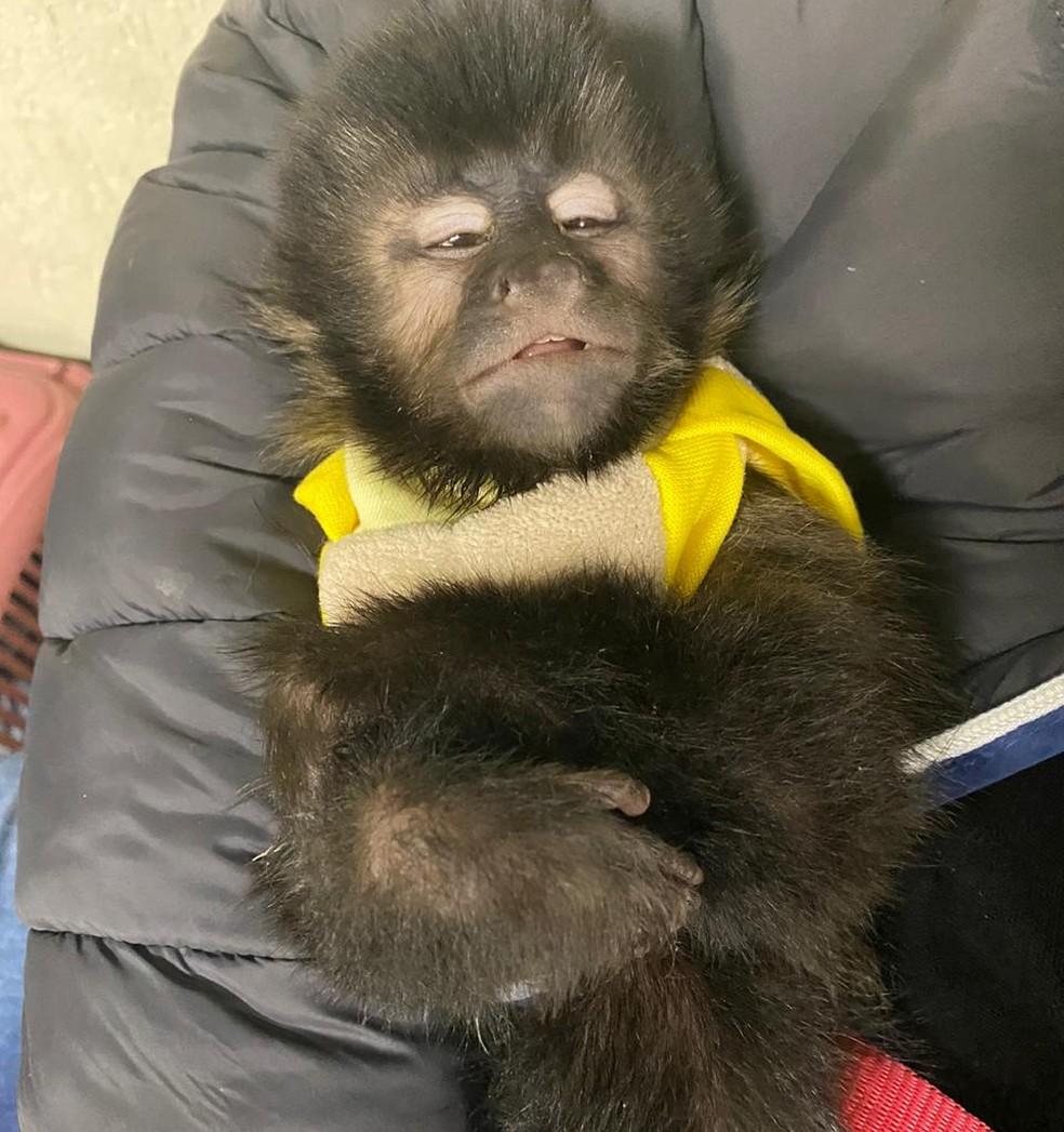 Macacos-prego em extinção apreendidos com traficante em SP — Foto: Polícia Civil/divulgação