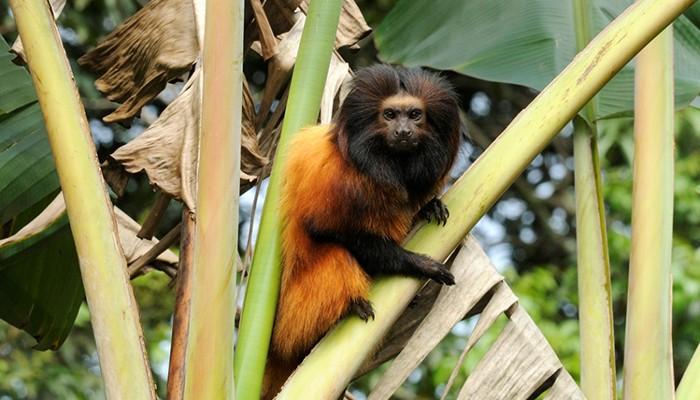 A população estimada do mico-leão-da-cara-preta é de 400 indivíduos (Foto: Celso Margraf)