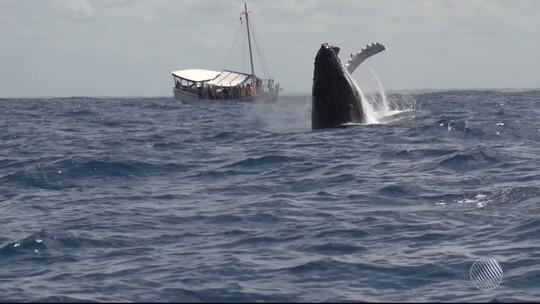 Filhote de baleia jubarte é achado morto em praia de Arembepe, na Bahia