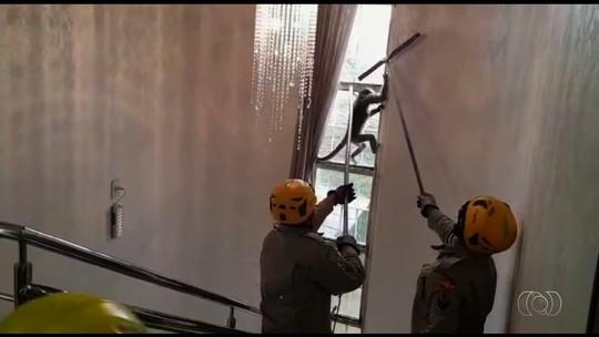 Macaco é capturado após invadir loja de decoração e assustar funcionários, em Goiânia