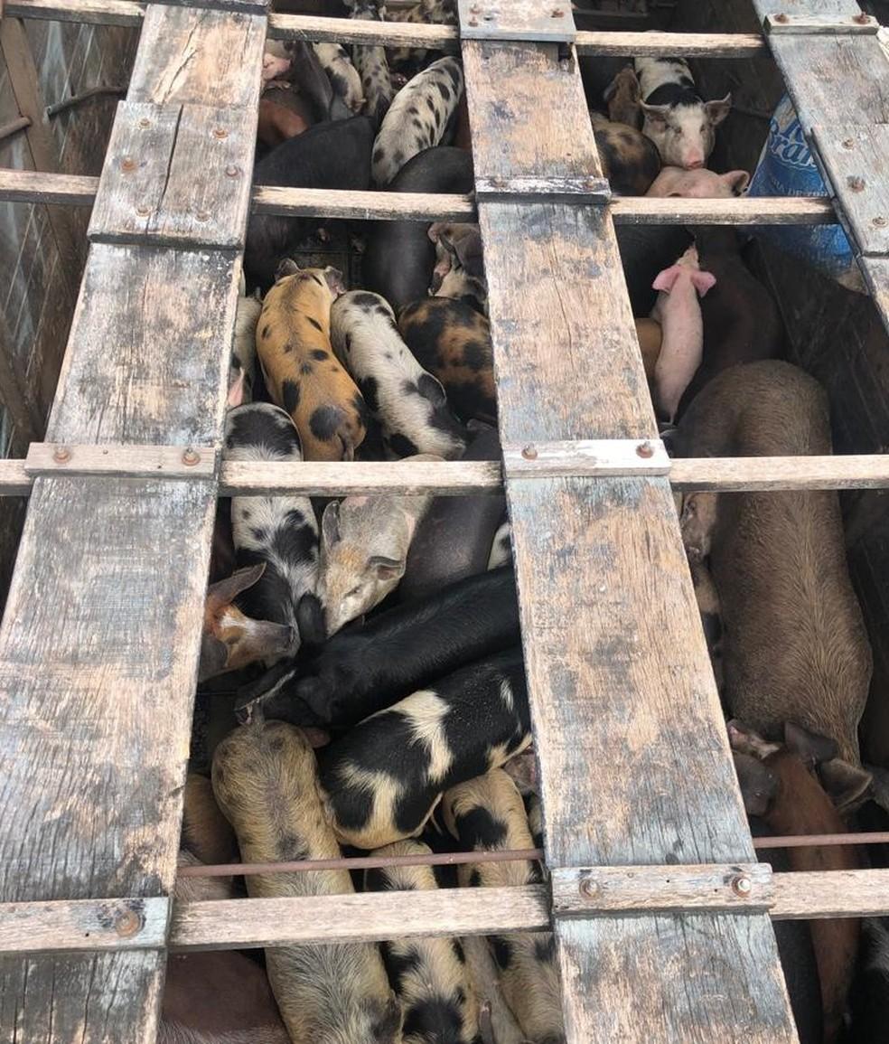 Polícia Rodoviária constatou o transporte irregular de aproximadamente 100 porcos na BR-316 em Caxias — Foto: Divulgação/Polícia Rodoviária Federal