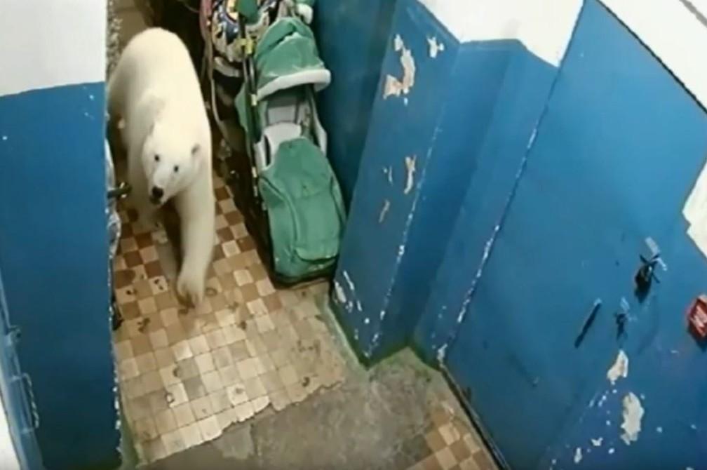 Ursos polares estão circulando por Novaya Zemlya, no norte da Rússia, levando as autoridades a declarar emergência — Foto: Reprodução/Youtube/Anna Liesowska