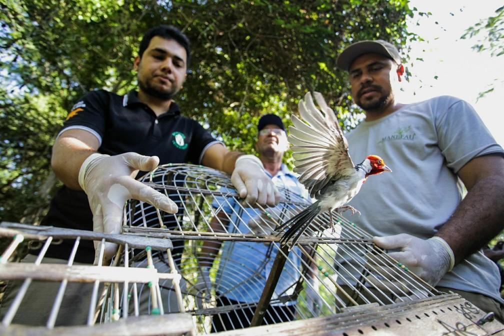 Ganharam liberdade aves conhecidas como galo de campina, extravagante, azulão, cancão e rolinha fogo-apagou (Foto: Jonathan Lins/MP-AL)