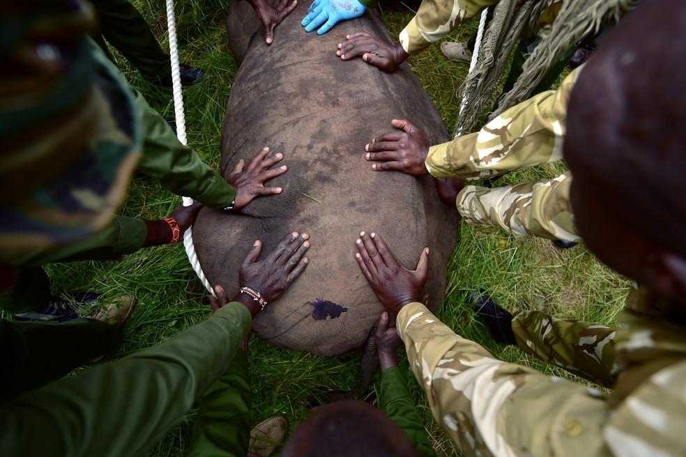 Grupo do Quênia se prepara para sedar rinoceronte-negro antes do transporte (Foto: Tony Karumba/AFP)