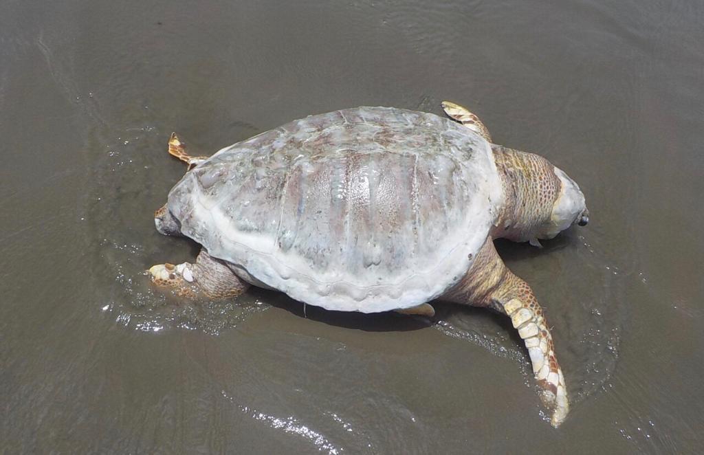 Biopesca recolhe duas tartarugas e uma toninha em praias do litoral de SP
